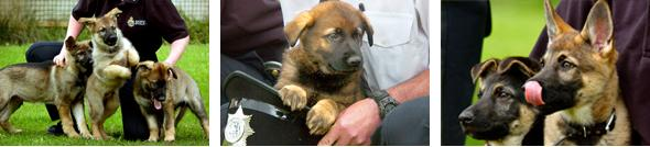 Pictures of Police puppies