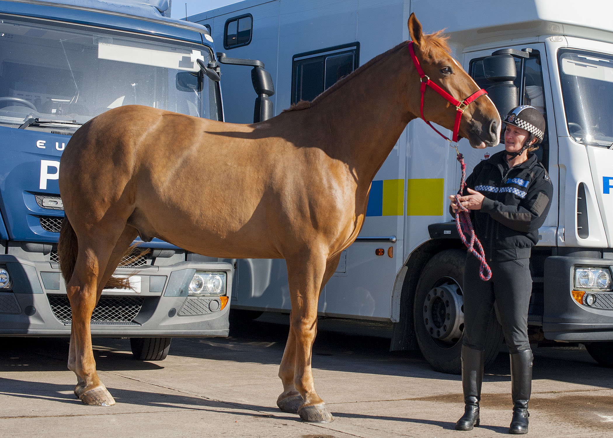Police horse Pablo